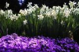 Alan Hausenflock - Spring Daffodils I - Fotografik Baskı