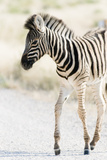 Zebra Colt I Photographic Print by Beth Wold