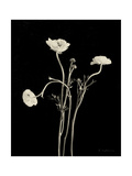Botanical Elegance Poppies Art by Amy Melious