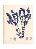 Blue Botanical Study III Premium Giclee Print by Kimberly Poloson