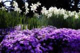 Alan Hausenflock - Spring Daffodils II - Fotografik Baskı