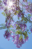 Jacaranda Tree II Photographic Print by Kathy Mahan