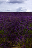 Lavender Photographic Print by Phil Payne