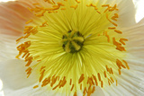 White Calix and Yellow Stamens Photographic Print by  Alagubala