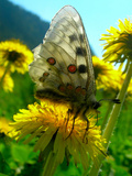 Butterfly Pollinarng a Flower - 5 Photographic Print by Andrea Kuritko