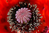 Inside of the Poppy Photographic Print by  Alagubala