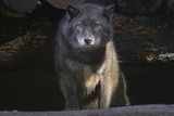 Grey Wolf Photographic Print by SubUrban Images