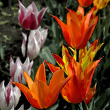 Multicoloured Tulips Photographic Print by  Alagubala