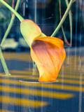 Calla Lily Photographic Print by Max Hertlischka