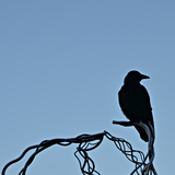 Lonely Raven Photographic Print by  Alagubala