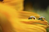 Sonnenblumentropfen Photographic Print by Christine Ellger