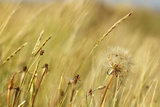 Yellow Grasses Photographic Print by Phil Payne