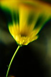 Yellow Flower Photographic Print by Phil Payne