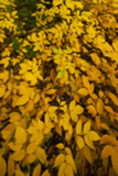 Yellow Leaves 1 Photographic Print by Svetlana Sewell