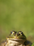 Pelophylax Photographic Print by Wolfgang Simlinger