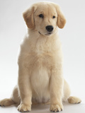 Young Labrador Photographic Print by Alex Maxim