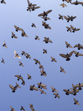 Pigeons Photographic Print by Wolfgang Simlinger
