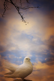 White Dove Photographic Print by Svetlana Sewell