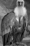 Vulture Photographic Print by Andrea Kuritko