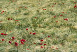 Meadow with Poppies 1 Photographic Print by Ursula Kuprat