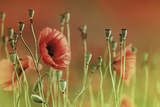 Roter Mohn Photographic Print by Christine Ellger