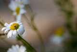 White Flower Photographic Print by Katarzyna Kuban