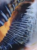 Turban Shell Photographic Print by Linda Mann