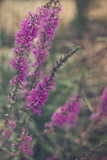 Purple Wildflowers Photographic Print by Sabine Rosch