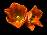 Tulips Photographic Print by Max Hertlischka