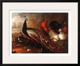 Peacock and Pheasant Art by Marmaduke Cradock