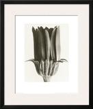 Dimorphoteca Aurantiaca, Marigold Prints by Karl Blossfeldt