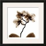 Orchid Posters by Albert Koetsier