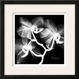 Orchid White on Black Prints by Albert Koetsier