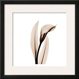 Single Calla Lily in Sienna Posters by Albert Koetsier