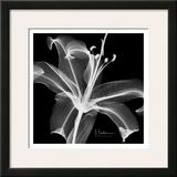 Lily White on Black Art by Albert Koetsier