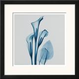 Calla Lilly Blue Prints by Albert Koetsier
