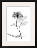 Rose in Full Bloom in Black and White Prints by Albert Koetsier