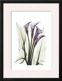 Calla Lily Quad in Color Posters by Albert Koetsier