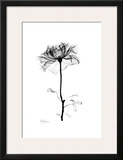 Rose in Bloom in Black and White Prints by Albert Koetsier