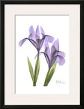 Purple Iris Poster by Albert Koetsier