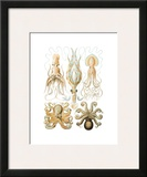 Gamochonia Prints by Ernst Haeckel