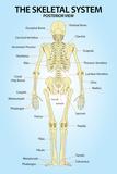 Skeletal System Posterior View Anatomy Poster Prints