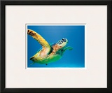Hawaiian Green Sea Turtle Posters by Theresa Young