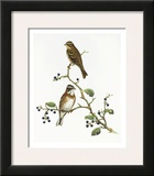 Emberiza Rustica Prints by Aaron Ashley
