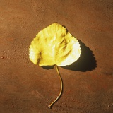 Yellow Cottonwood Tree Leaf on Ground Photographic Print by Graeme Harris