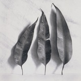 Leaves on White Background Photographic Print by Graeme Harris