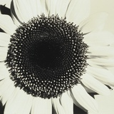 Sunflower Photographic Print by Graeme Harris