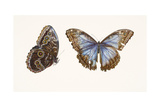 Blue Morpho Butterfly, 2013 Giclee Print by Rachel Pedder-Smith