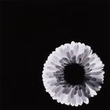 White Flower Photographic Print by Graeme Harris