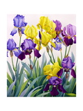 Yellow and Purple Irises Giclee Print by Christopher Ryland